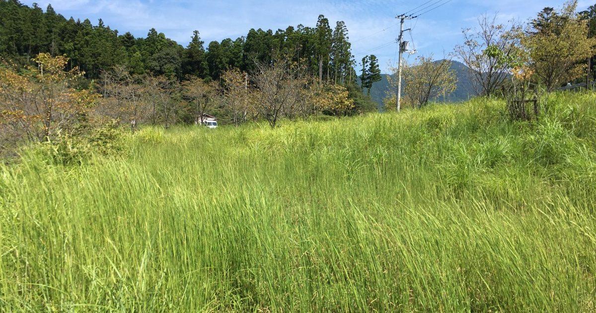 A tall green grass